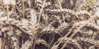 Mycotoxinen in voedselketen van mens en dier in beeld