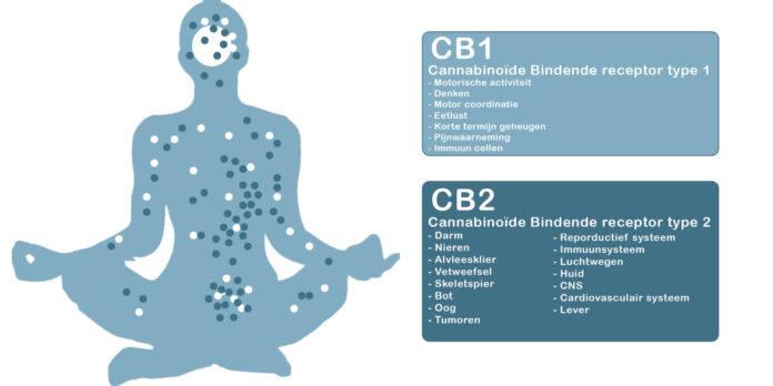 Endocannabinoïden
